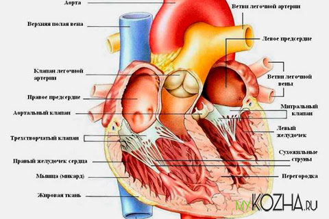 сердце-человека