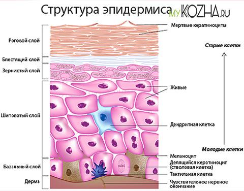 структура-эпидермиса
